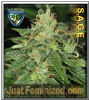 TH Seeds S.A.G.E Female 5 Marijuana Seeds